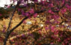 Bovino (2807) (Jorge Belim) Tags: flora flor canoneos7d 70200 animal bovino