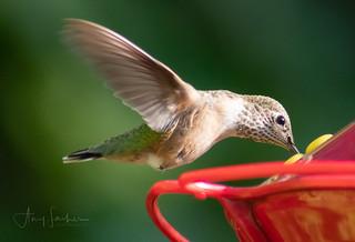 Hummingbirds at the Cabin