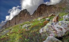 Lapilli (art & mountains) Tags: alpi alps dolomiti dolomiten cima cresta marmotta rododendri natura silenzio contemplazione hiking esc esp gulp gasp traversata incontri morfologia vision dream spirit trasposizione art