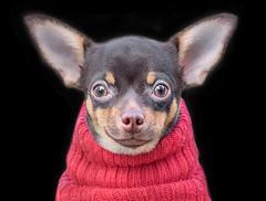 Yoda (adrians_art) Tags: chiwawa dogs portrait head ears eyes nose fun amusing funny comical chihuahua canine yoda starwars