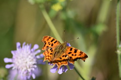 Comma Butterfly at Turners Flash (stevencarruthers93) Tags: greenheart wigan wiganflashes nature wildlife spring watch photography nikon nikonphotography macro macrophotography