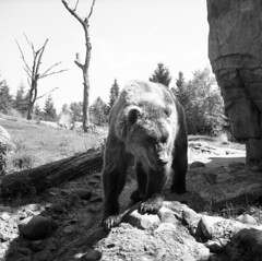 grizzly-bear (kaumpphoto) Tags: rolleiflex 120 tlr ilford hp5 claw fur grizzly rock log paw zoo nature wildlife camping picnic wilderness creature mammal ursus