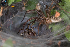 752A5444 (Trefor2011) Tags: labyrinthspideragelenalabyrinthica norfolk arachnid copulating dance macro mating ritual horning england unitedkingdom gb