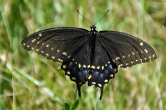 in thin air (christiaan_25) Tags: blackswallowtail swallowtail papiliopolyxenes americanswallowtail parsnipswallowtail butterfly insect wings spots black nature