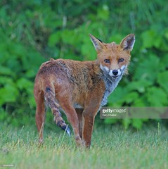 Fox (Gary Chalker, Thanks for over 3,000,000. views) Tags: fox mammal pentax pentaxk3ii k3ii pentaxfa600mmf4edif fa600mmf4edif fa600mm 600mm