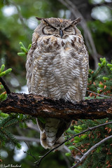 Great Horned Owl (Lyall Bouchard) Tags: alberta bird calgary greathornedowl inglewoodbirdsanctuary canada ca