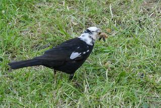 (z-1050323) Blackbird? - 1