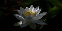 In the evening light (pe_ha45) Tags: waterlily seerose pond teich garden garten