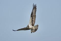 _A734952 (bram-sowers) Tags: sonyfe2470gm sonyfe100400mmgm sonya7riii warsawvirginia rappahannockriver eagle osprey tycho chez