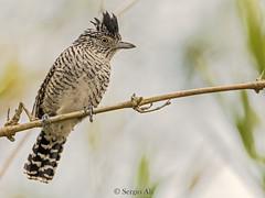 Choca listada (Thamnophilus doliatus) (Sergio Ali - Naturaleza en imágenes) Tags: choca listada thamnophilus doliatus birds aves santafe naturaleza