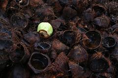Natural cutout (Robyn Hooz) Tags: cocoa coconut thai thailandia guscio fabbrica laboratory art black brown green verde scarti dump