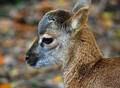 Mufflon-Lamm (anubishubi) Tags: säuger säugetier boviden pflanzenfresser herbivoren schaf sheep wildschaf mufflon lamm nikond60