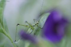 Flip... (martinap.1) Tags: insect macro insekt makro nikon105mmmacro nikond3300 nikon natur nature grün green grasshopper grashüpfer