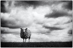 What are you staring at (ingrid.lowis) Tags: monochrom bw schwarz weis natur sheep schaf föhr