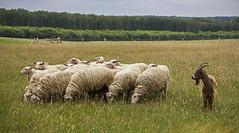 A goat amongst the sheep (hutsepot) Tags: buck bock bok geit goat chevre chèvre ziege schafe mouton sheep schaap veluwe nederland gelderland holland netherlands paysbas niederlande niederlände animaux tiere dier panorama panorame view