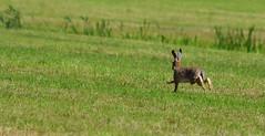 Run Away Hare (bruine haas ) (moniquedoon) Tags: haas hare hares hazen nature wildlife wild naturephotography nikon wildlifephotography