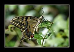 Il favoloso mondo di Antelie (71) (Jambo Jambo) Tags: macro sonydscrx10m4 jambojambo farfalla butterfly macaone papiliomachaon oldworldswallowtail swallowtail