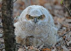 Great Horned Owlet...#2 (puff ball) (Guy Lichter Photography - 4M views Thank you) Tags: canon 5d3 canada manitoba winnipeg wildlife animal animals bird birds owl owls greathornedowl owlet