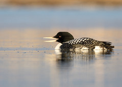 _V6A2936 (Tom Wilberding) Tags: barrow alaska arctic water duck tomwilberding yellowbilledloon whitebilleddiver