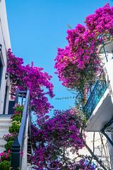 DSC02678.jpg (valerie.toalson) Tags: greece flowers mykonos mykonostown