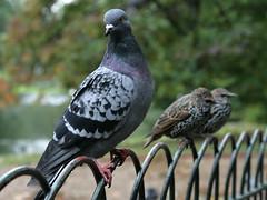 Pigeons, St James Park, London, September 24th 2008 (Southsea_Matt) Tags: unitedkingdom greaterlondon england stjamespark september 2008 autumn canon 30d wildlife birds pigeons