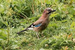 Common Jay (siramman64) Tags: wildlife wildlifeuk sirammanpictures siramman forestfarm nature southwales