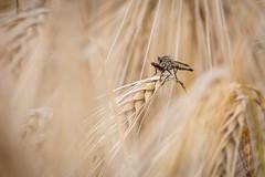 Gemeine Raubfliege mit Beute (rosi.grewe) Tags: getreide raubfliege kornfeld