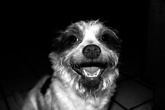 (david11eiu) Tags: cute doggy carefree satisfaction happiness smiling furry canine lovely boy bobo blackandwhite smile happy dog pet animal