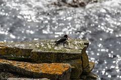 Next Morning at Latheronwheel harbour (doublejeopardy) Tags: bird seabird oystercatcher latheronwheel scotland unitedkingdom gb