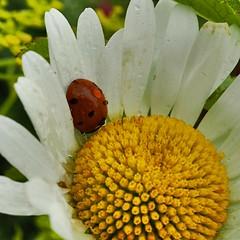 Taking cover ☔️ (sonjawitting) Tags: summernature finland nordicnature nordicsummer naturephotography naturedetails macroflower macrophotography flower daisies ladybug