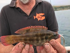"Andy Sheader - Ballions Wrasse • <a style=""font-size:0.8em;"" href=""http://www.flickr.com/photos/113772263@N05/43273607801/"" target=""_blank"">View on Flickr</a>"