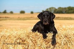 (Flemming Andersen) Tags: animal buddy outdoor yellow blue dog harvest hund labrador nature pet sky jelling regionofsoutherndenmark denmark dk