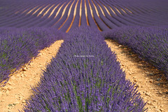 IMG_4423 (肉拉) Tags: valensole lavender france provence