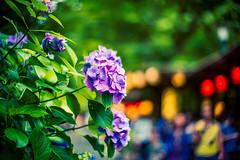 Hydrangea (moaan) Tags: kyoto japan jp flower flowering flora hydrangea roadside bytheroadside beforetherain outdoor depthoffield focusonforeground selectivefocus bokeh bokehphotography leica leicamp type240 noctilu noctulux 50mm f10 leicanoctilux50mmf10 utata 2018