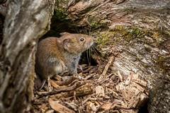 Bank Vole (Glenn.B) Tags: millerswood sussex mammal bankvole vole