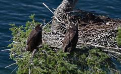 Eagle eyes (Snixy_85) Tags: eaglets eagles haliaeetusleucocephalus
