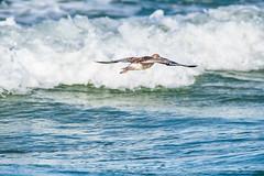 Sandpiper (Eeyore Photography) Tags: robertjacksonphotography robertjackson bird nikkor200500mmf56 eeyorephotography photography nikkor nikond750 capesanblas florida
