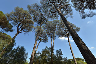 Stone pines within the grounds of Villa Ada Savoia, Rome, Italy  -  (Selected by GETTY IMAGES)