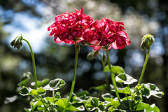 'Love and Devotion' (Canadapt) Tags: flowers geraniums red garden bokeh keefer canadapt