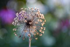 Allium (agnieszka.a.morawska) Tags: helios helios44m bkhq beyondbokeh bokehlicious macro dof bokeh garden flower allium