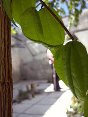 Escondida (mayavilla) Tags: escondida naturaleza hojas jazmin