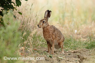 Brown hare sitting on cracked dry ground. July Suffolk.  Lepus europaeus