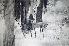 2-watermark (Brian M Hale) Tags: ir infrared infra red 720nm 720 deer buck outside outdoors wild life wildlife nature natural animal ma mass massachusetts waseeka hopkinton brian hale brianhalephoto kolari vision kolarivision