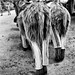 Les ânes en culotte du Parc de la Barbette