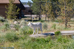 IMG_0931.jpg (Hogan W) Tags: westyellowstone montana unitedstates us