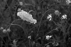 Queen Anne's Lace, daisies, Owl's Head, Maine, Nikon D3300, Mamiya Sekor 90mm f-2.8, 7.18.18 (steve aimone) Tags: queenanneslace daisies owlshead maine nikond3300 mamiyasekor80mmf28 mamiyaprime primelens flowers floral blackandwhite monochrome monochromatic macro