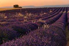 Sundown (marypink) Tags: provenza provence francia france lavanda lavander tramonto sunset sky cielo summer estate campo fiel fioritura fiori nikkor70200f28 nikond800