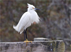 Snowy in Summer [Explored] (acadia_breeze4130) Tags: virginia chincoteague assateague national wildlife refuge island nature outside outdoor bird egret snowy white yellow feet eos 100400mm karencarlson heron canon
