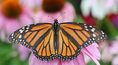 Monarch Butterfly on a Purple Coneflower (TomIrwinDigital) Tags: