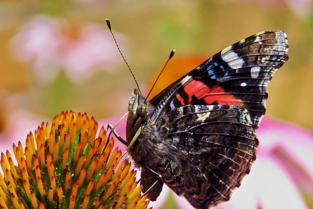 (Pittsburgh Cam Miller) Tags: Pollen Echinacea Admiralbutterfly Admiral Butterfly  Garden Summer